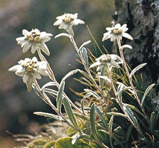[Image: leontopodium-alpinum.jpg?w=324]